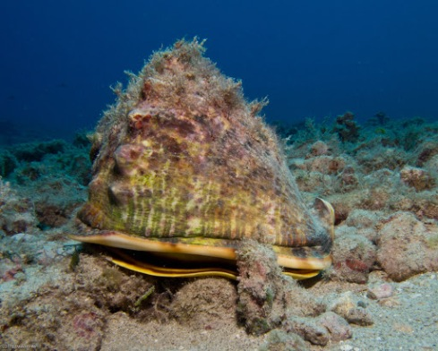 A Horned Helmet (Cassis cornuta) from the Hawaii coast