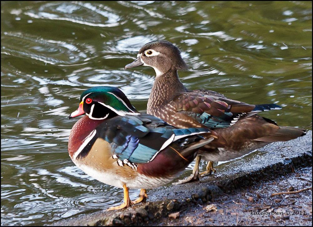 A pair of wood ducks by Katey Brown