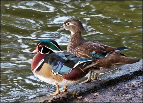 A pair of wood ducks by Katey Brown