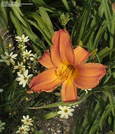 Copper toned daylily