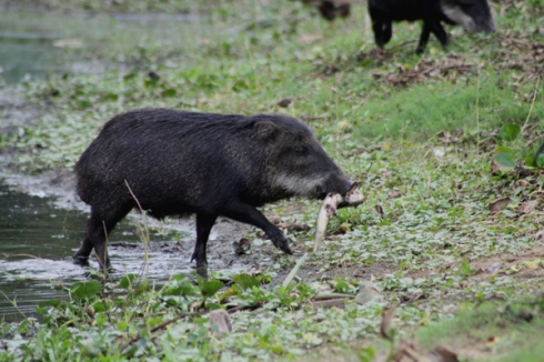 Not that cows and goats eat fish like this White-lipped peccary (Tayassu pecari) photo by Douglas PR Fernandes