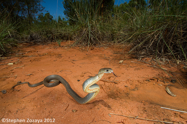 Eastern Brown Snake (Pseudonaja textilis) assuming defensive posture (a fearless photo by Stephen Zozaya)