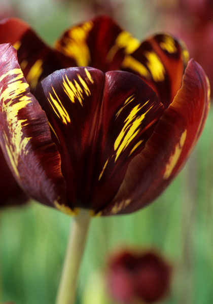 Absalom Tulip from 1870 at Old House Gardens