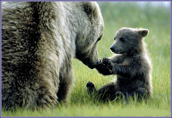 Brown bear cub with mother in Alaska (photo by superbearblog.com)