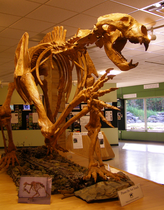 The fossilized skeleton of a short-faced bear at the (amazing-sounding) American Bear Center
