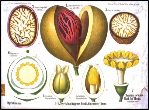 Botanical-Educational-plate-Nutmeg-780x579