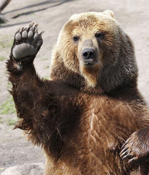 A female brown bear in an English zoo waves to appreciative zoogoers.
