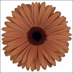 Brown Gerbera Daisy