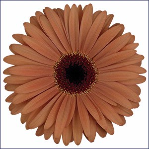 Brown Gerbera Daisy