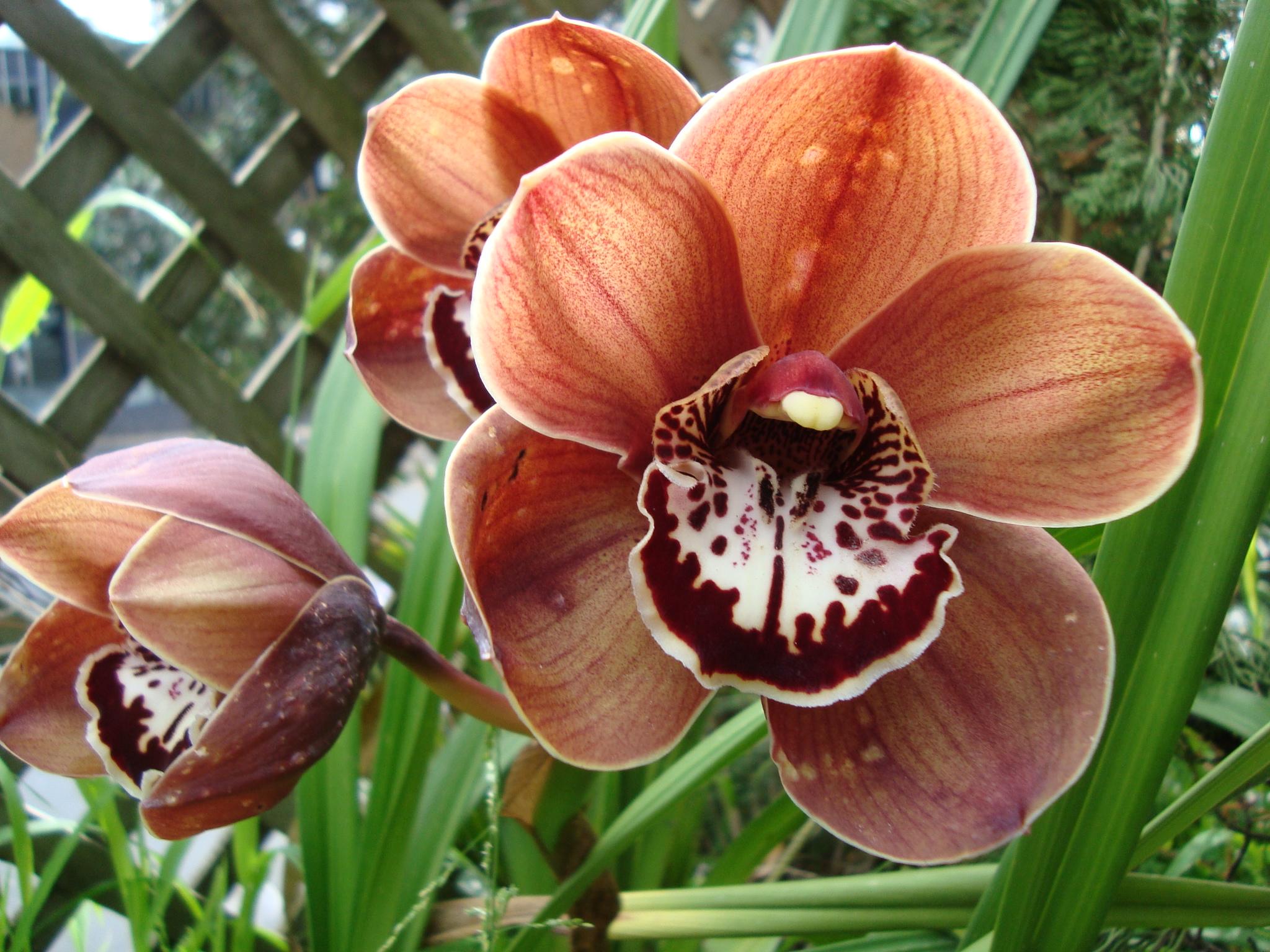 Brown Hybrid Orchid (Warren Arthur Wilson)