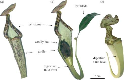 carnivorous-plant-and-bat