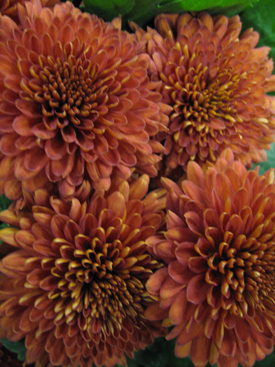 Chrysanthemum (Brown Disbud Cremon)