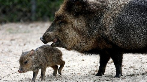 Collared Peccaries (Pecari tajacu) by Jim Gressinger