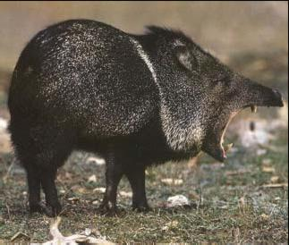 Do not cuddle the collared peccary!