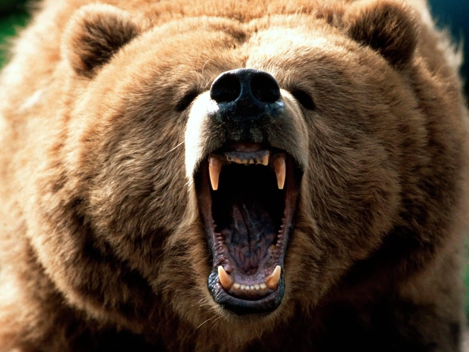 A Brown Bear (Ursus arctos)