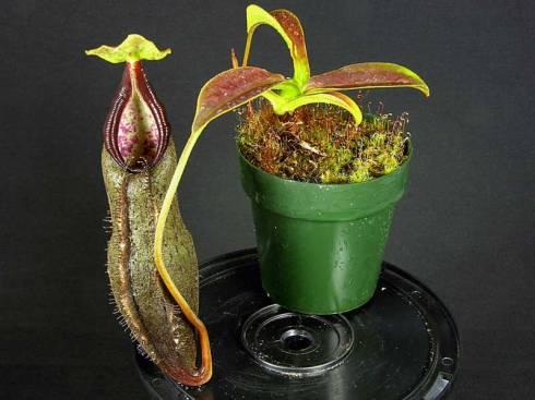 Nepenthes izumiae