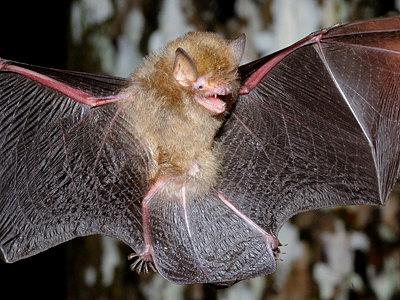 The small wooly bat (Kerivoula intermedia)