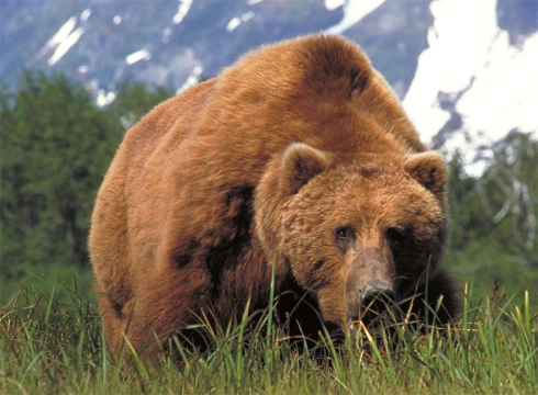 large_brown_bear