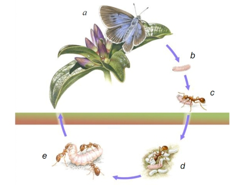 The Life Cycle of Phengaris rebeli (image via http://sciencythoughts.blogspot.com)