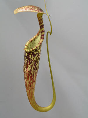 Nepenthes rafflesiana elongata (upper pitcher)
