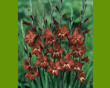 Brown Gladiolus