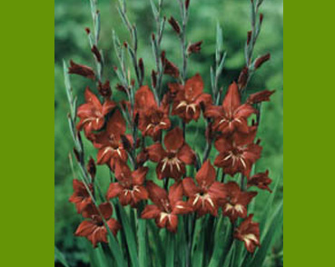 Brown Gladiolus
