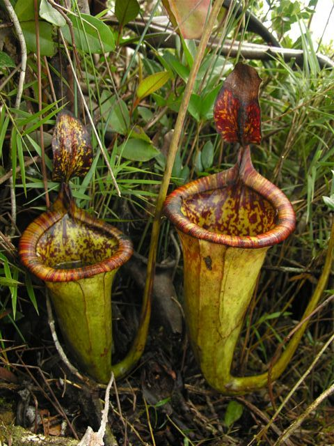 The Nepenthes–Carvivorous Pitcher Plants   ferrebeekeeper