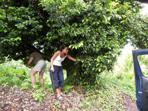 Tourists frolic beneath a nutmeg tree (Myristica fragrans) in Grenada