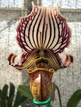 Paphiopedilum faireanum
