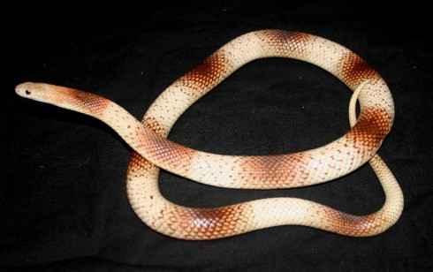"Speckled Brown Snake (Pseudonaja guttata) from ""Reedy's Reptiles"""