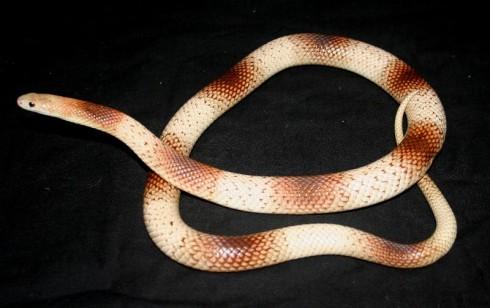 "Speckled Brown Snake (Pseudonaja guttata) from ""Reedy's Reptiles"""