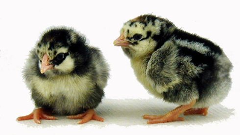 Endearing Silver Laced Wyandotte chicks