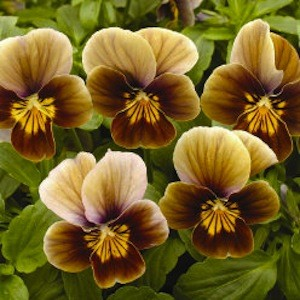 Brown flowers ferrebeekeeper velour frosted chocolate viola from swallowtailgardenseeds mightylinksfo