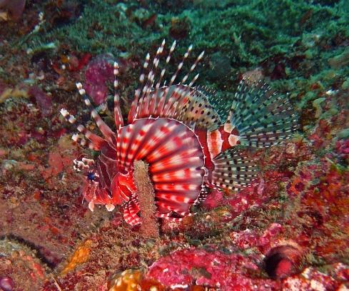 Zebra Turkeyfish (Dendrochirus zebra)