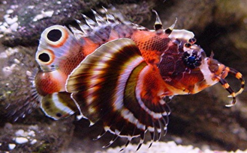 The Two-spot Turkeyfish (Dendrochirus biocellatus)