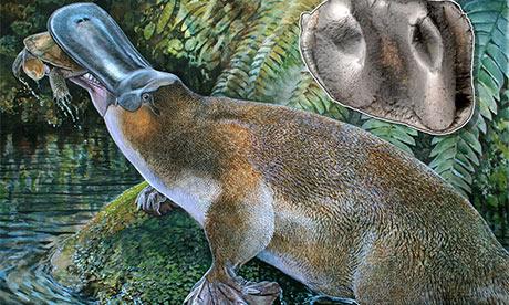 The giant carnivorous platypus (Obdurodon tharalkooschild)