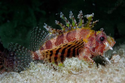 Shortfin turkeyfish or Dwarf Lionfish (Dendrochirus brachypterus)