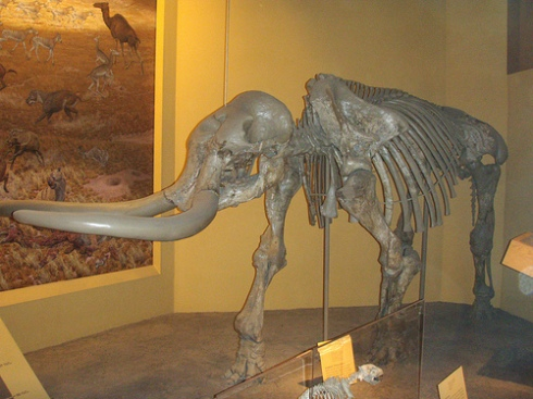 A Stegomastodon skeleton from the Smithsonian Museum of Natural History