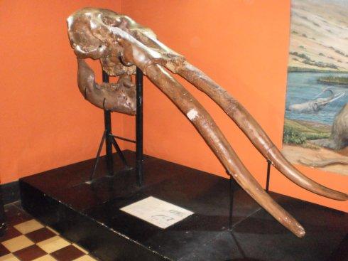 Skull of stegomastodon waringii