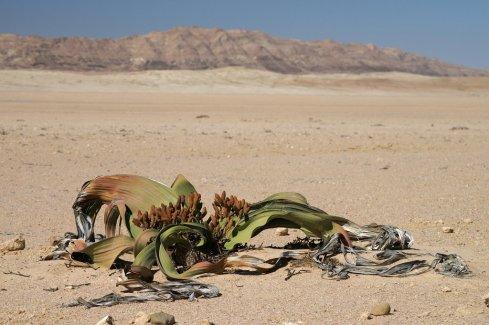 Welwitschia mirabilis in Namib Naukluft Park