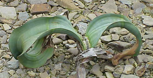 A young Welwitschia