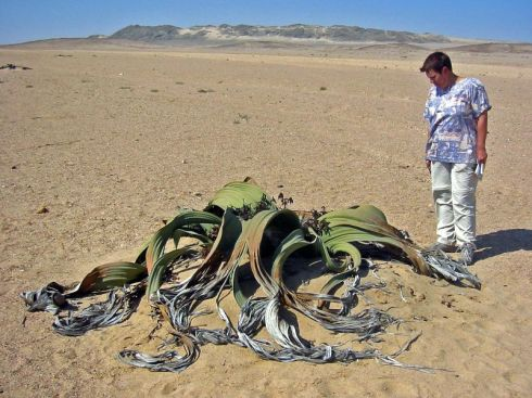 Welwitschia mirabilis with a dangerous African animal species