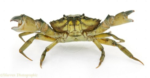 The Shore Crab or European Green Crab (Carcinus maenas)
