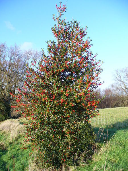 "A Female Holly Tree (photo allegedly by ""Chase Wood"")"