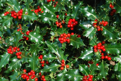 A Female Holly Tree (Ilex aquifolium) with trademark berries