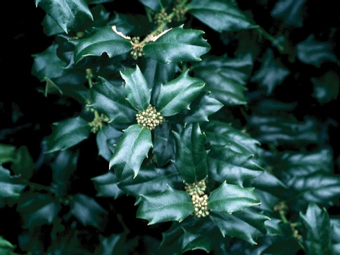 A male holly tree (Ilex aquifolium) with flowers
