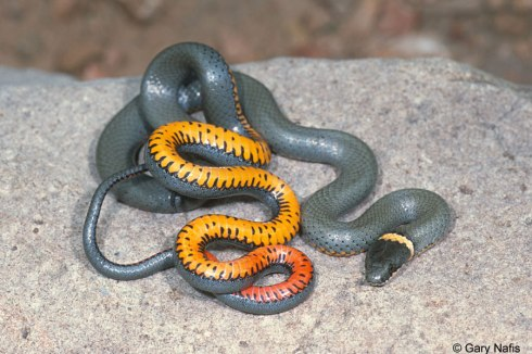 The Regal Ringneck Snake (Diadophis punctatus regalis) photo by Gary Nafis