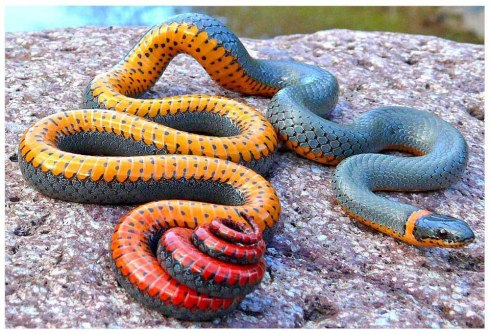 Regal Ringneck Snake (Diadophis punctatus)