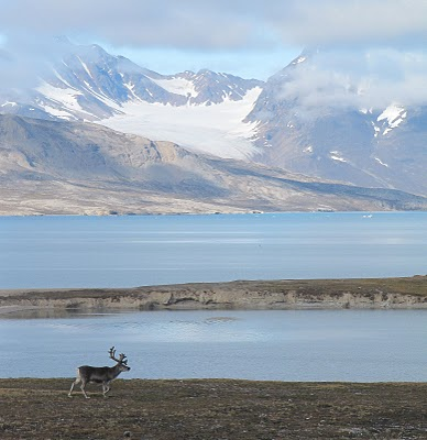 A reindeer poses in front a glacier in Svalbard