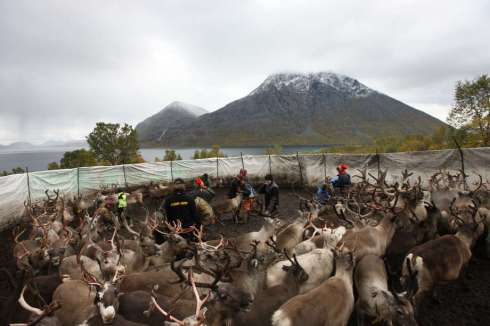 The Sami people prepare to migrate with the herd